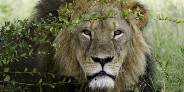 Hwange.lion
