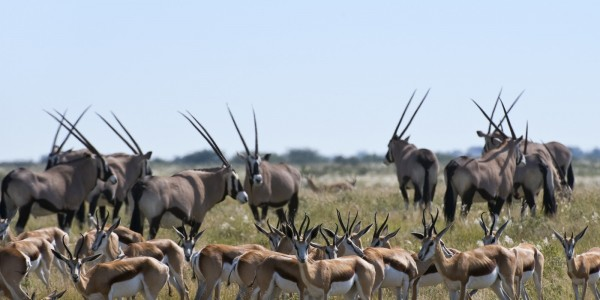 Africa - Botswana - Wildlife - Antilopes