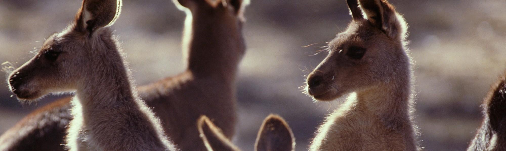 Akorn.Kangaroos