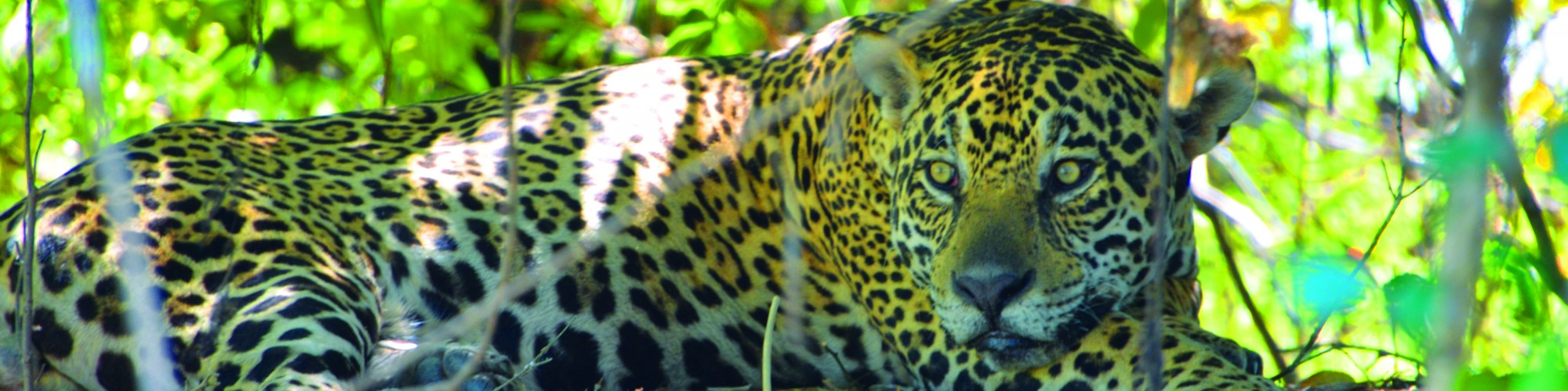 Jaguar, Pantanal
