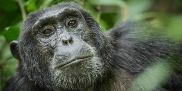 Kyambura_chimp