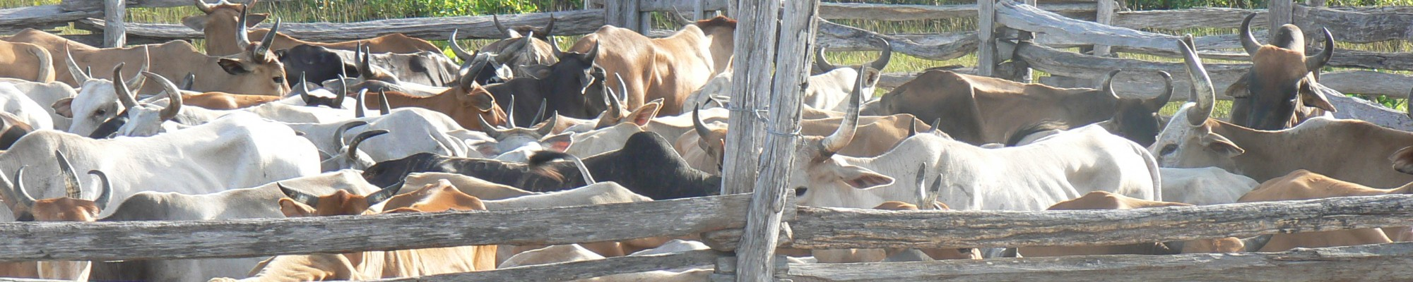 Guyana - Cattle