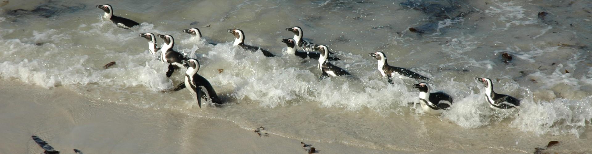 penguin capetown