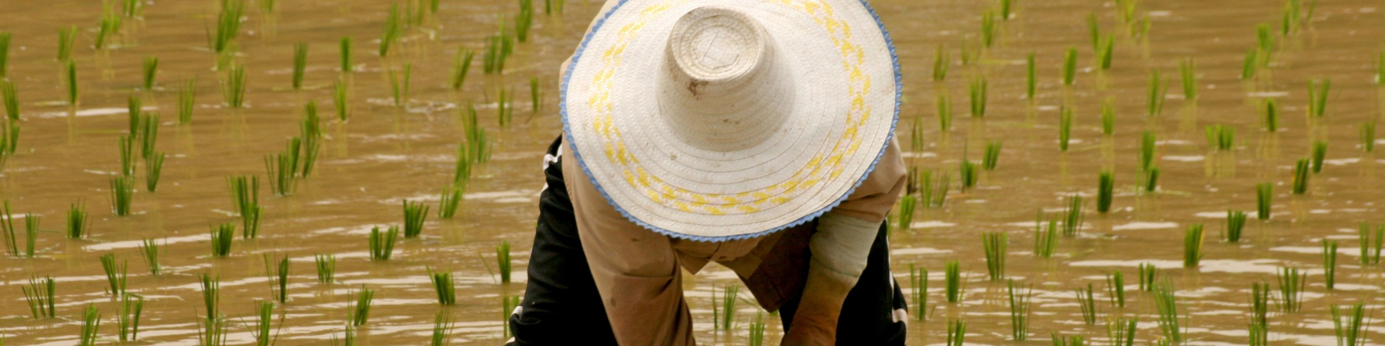 thai_rice_farmer[1]