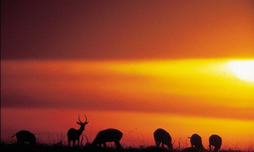 Kenya - Aberdare Gazelle