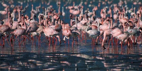 Rift valley flamingoes