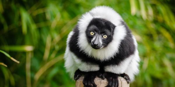 Madagascar - black lemur