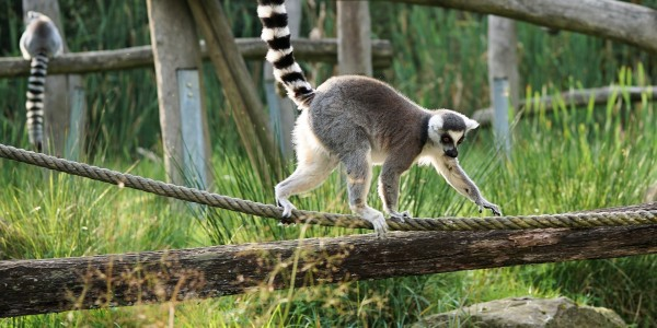 Madagascar - ring-tailed-lemur