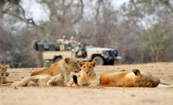 CC-lion-cubs-drive