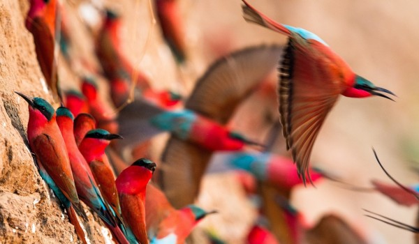 Norman Carr Safaris - Carmine bee eaters