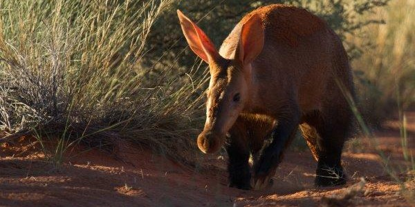 South Africa - The Kalahari - Aardvark