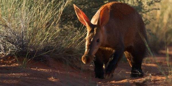 South Africa - The Kalahari - Aardvark
