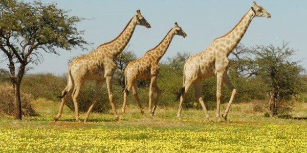 South Africa - The Kalahari - Giraffe