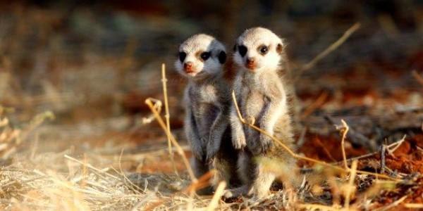 South Africa - The Kalahari - Meerkats