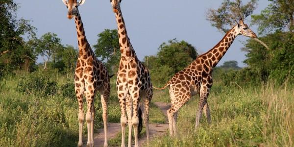 UG MFNP - Giraffen, Track_016
