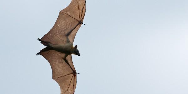 Zambia - Kasanka National Park - Bat