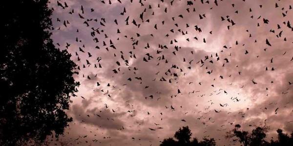 Zambia - Kasanka National Park - Bats
