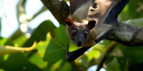 Zambia - Kasanka National Park - Fruit Bat