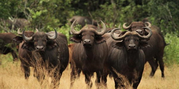 Zimbabwe - Mana Pools National Park - Buffaloes