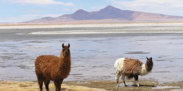 Llamas in the alitplano
