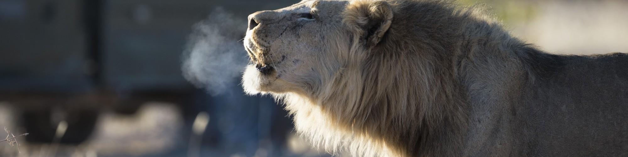 ongava lion