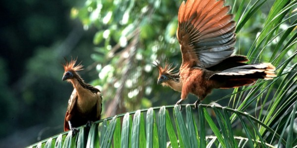 Guyana - Baganara Island - Birds