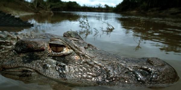 Guyana - Baganara Island - Crocodyle