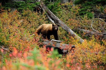 Grizzly, Whistler