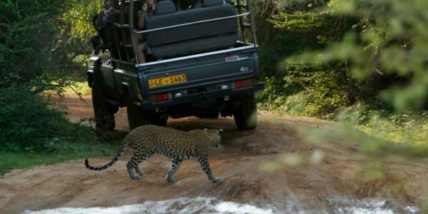 Leopard & Safari vehicle in Yala National Park