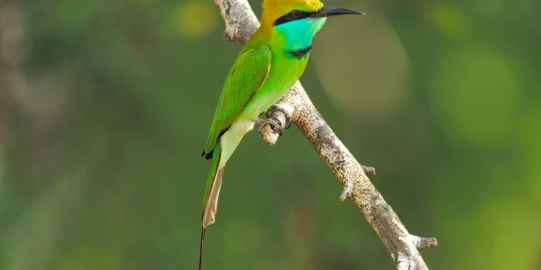 Little Green Bee Eater Yala National Park