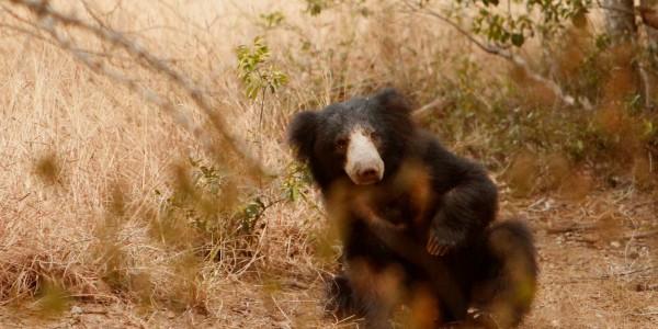 Sloth Bear Yala National Park