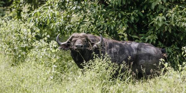 Zimbabwe - Gonarezhou National Park - Buffalo