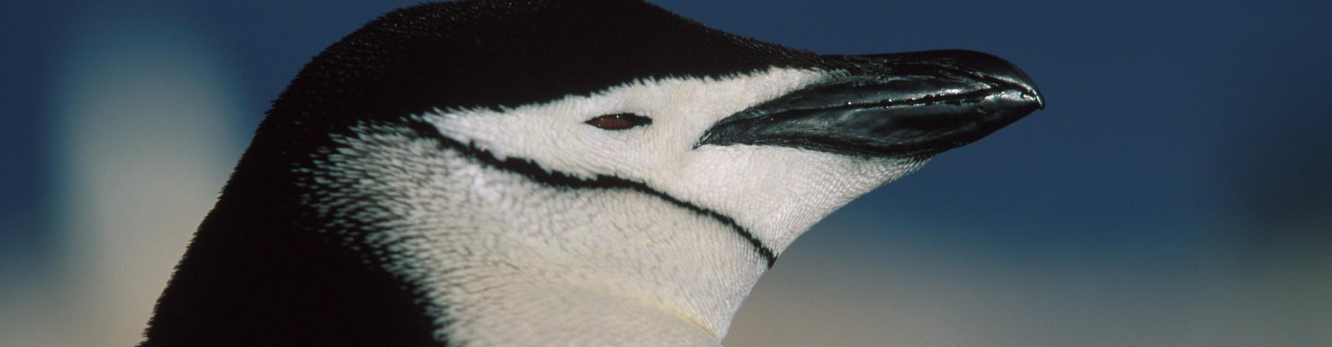AN - Gen - Oceanwide - Chinstrap penguin by Franco Banfi