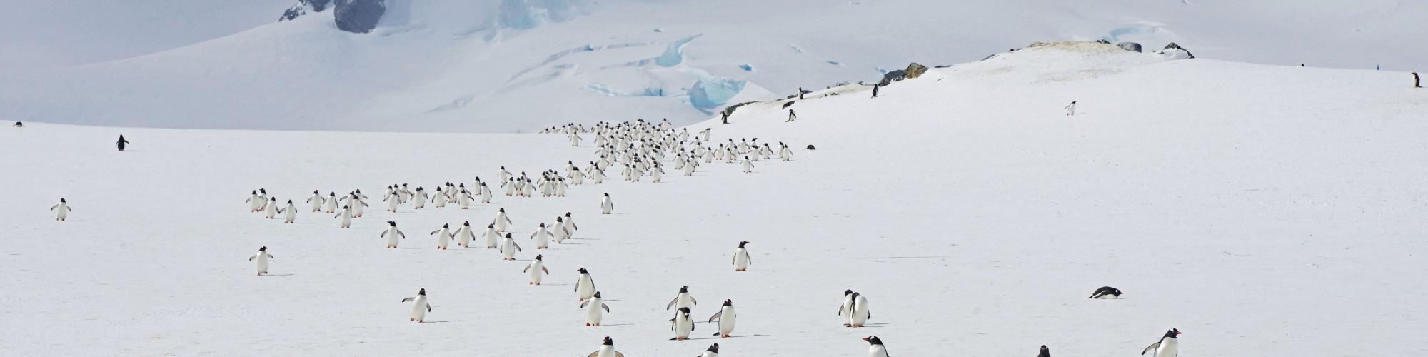Antarctica - Peninsula - Hebridean Sky - Penguins