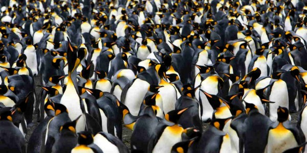 Antarctica - South Georgia - Hebridean Sky - King penguin colony