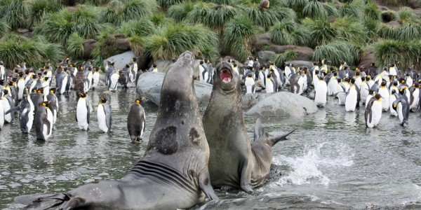 Antarctica - South Georgia - Oceanwide - Elephant Seals with king penguins by Femke Wolfert