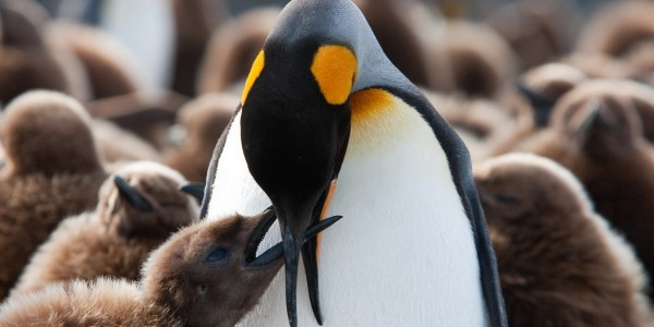 Antarctica - South Georgia - Oceanwide - King Penguin chick being fed by Jan Veen