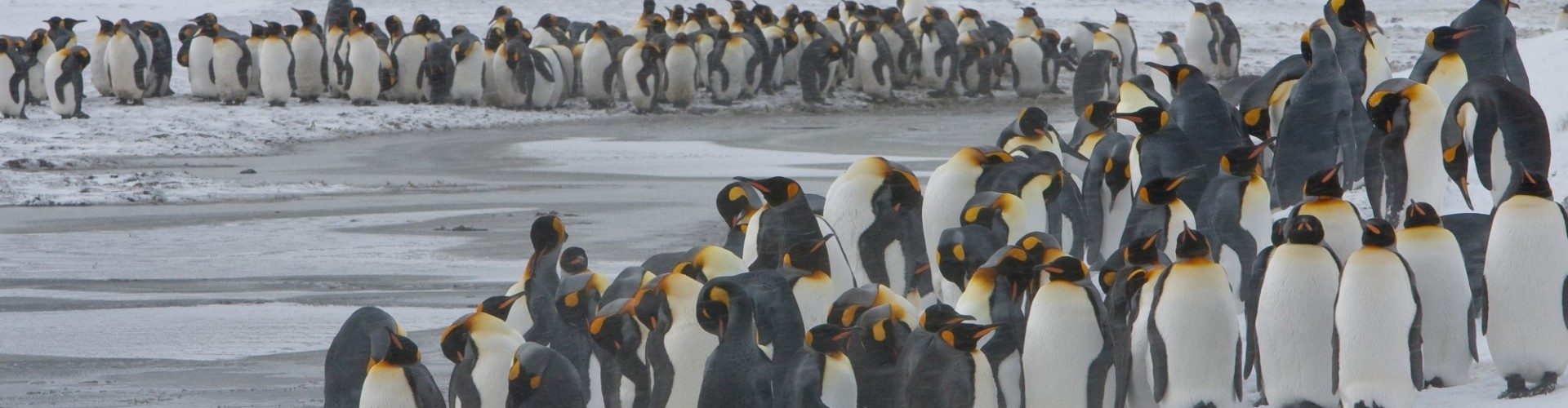 Antarctica - South Georgia - Oceanwide - King Penguin colony in a snowy setting by Jan Veen
