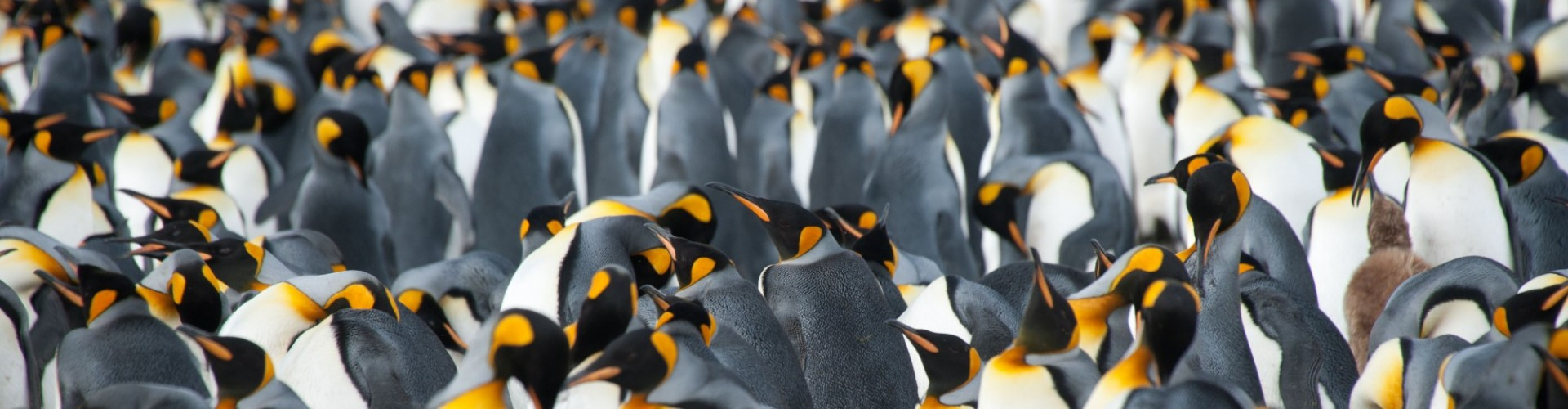 Antarctica - South Georgia - Oceanwide - Thousands of King Penguins by Erwin Vermeulen
