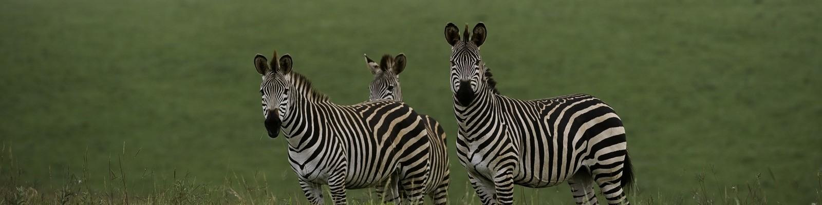 Malawi - Nyika - Zebras