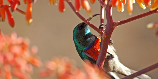 South Africa- Hermanus & the Overberg - Grootbos Private Nature Reserve - Sun bird