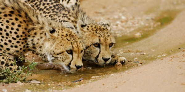 South Africa - Kruger National Park & Private Game Reserves - Royal Malewane - Cheetah
