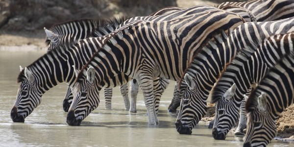 South Africa - Kruger National Park & Private Game Reserves - Royal Malewane - Zebra