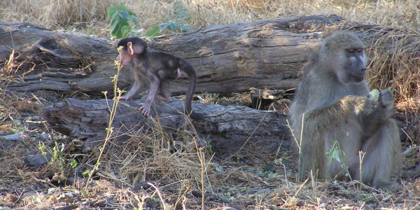 Africa - Baboon