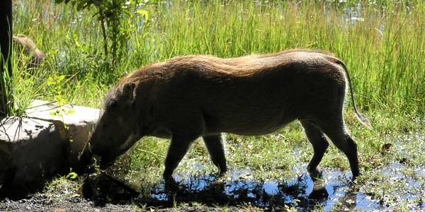 Africa - Warthog