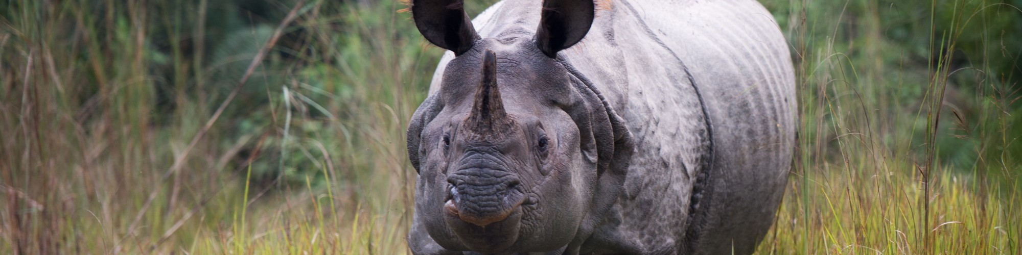 Rhino, Chitwan, Nepal