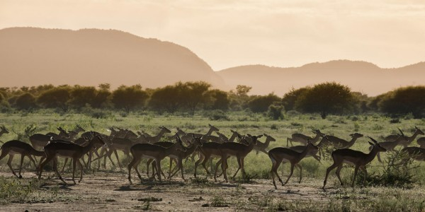 South Africa - Waterberg - Marataba Safari Lodge - Impala