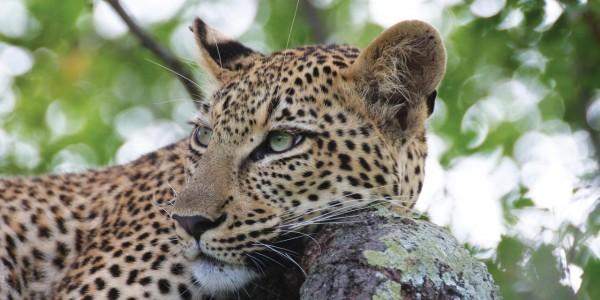 South Africa - Waterberg - Marataba Safari Lodge - Leopard
