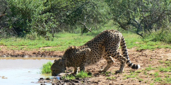 South Africa - Battlefields of the Eastern Cape & Kwazulu Natal - Mount Camdeboo Private Game Reserve - Cheetah