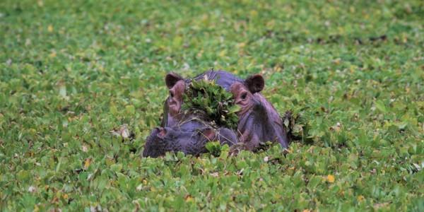 Zimbabwe - Mana Pools National Park - Kanga Camp - Hippo